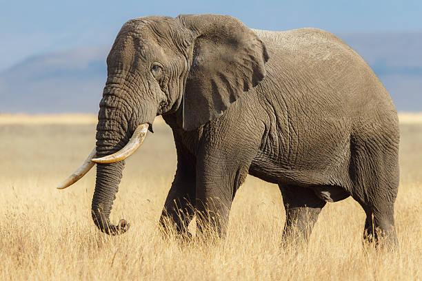 african elephant bull in the ngorongoro savanna, tanzania africa - single pampas grass bildbanksfoton och bilder