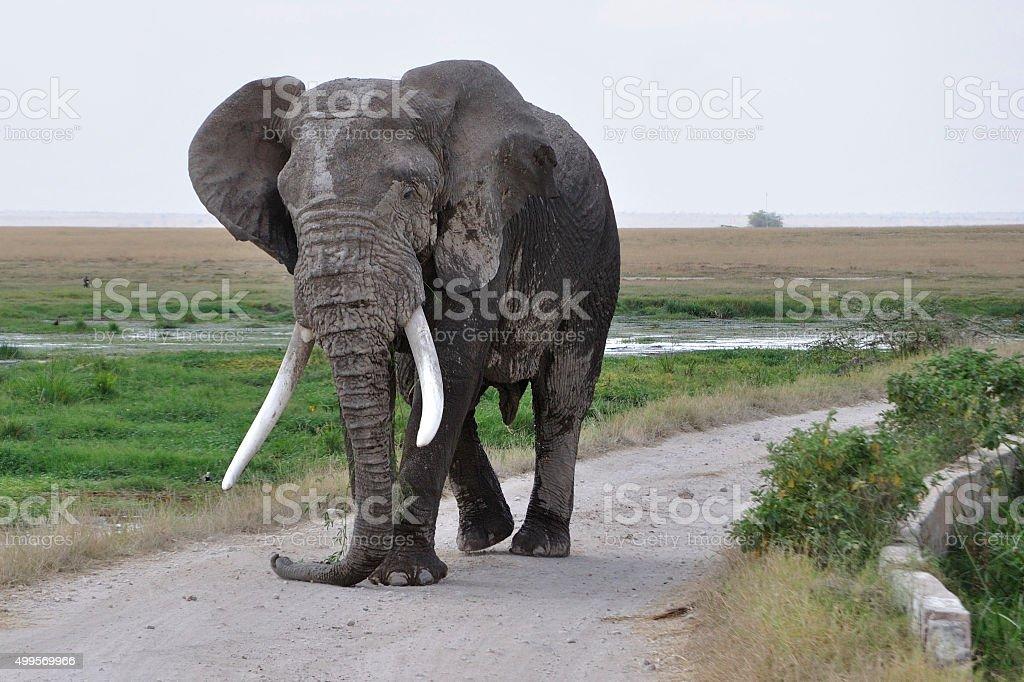 African Elephant Bull stock photo