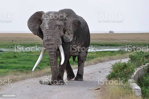 African Elephant Bull Stock Photo - Download Image Now