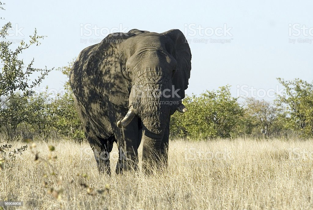 African Elephant Bull royalty-free stock photo