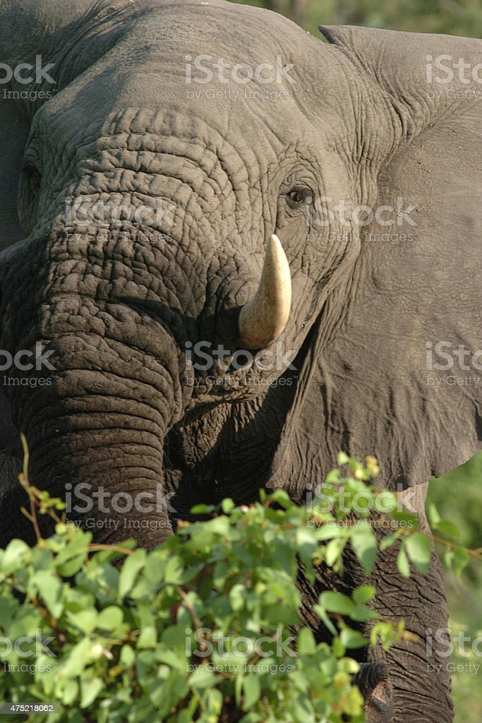 African Elephant bull threat display stock photo