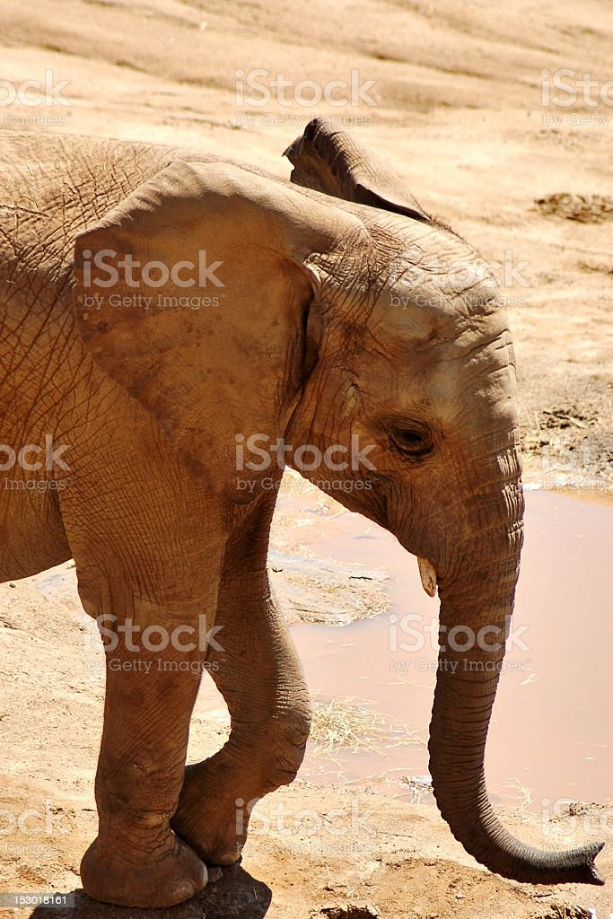African Elephant Calf stock photo