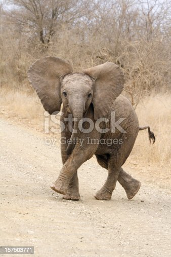 A cute African elephant calf playing while showing a dominance display.