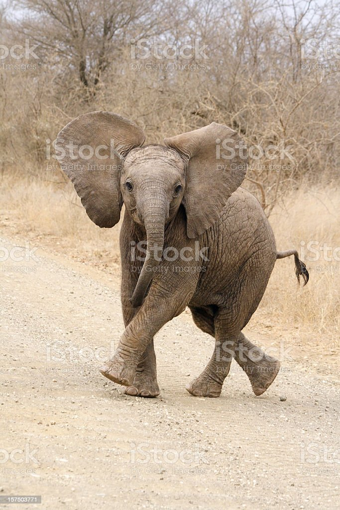 African elephant calf playing on a road stock photo