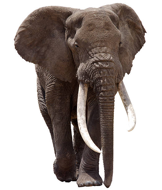 African Elephant Clipped Bull African Elephant cut out with detailed clipping path. tusk stock pictures, royalty-free photos & images