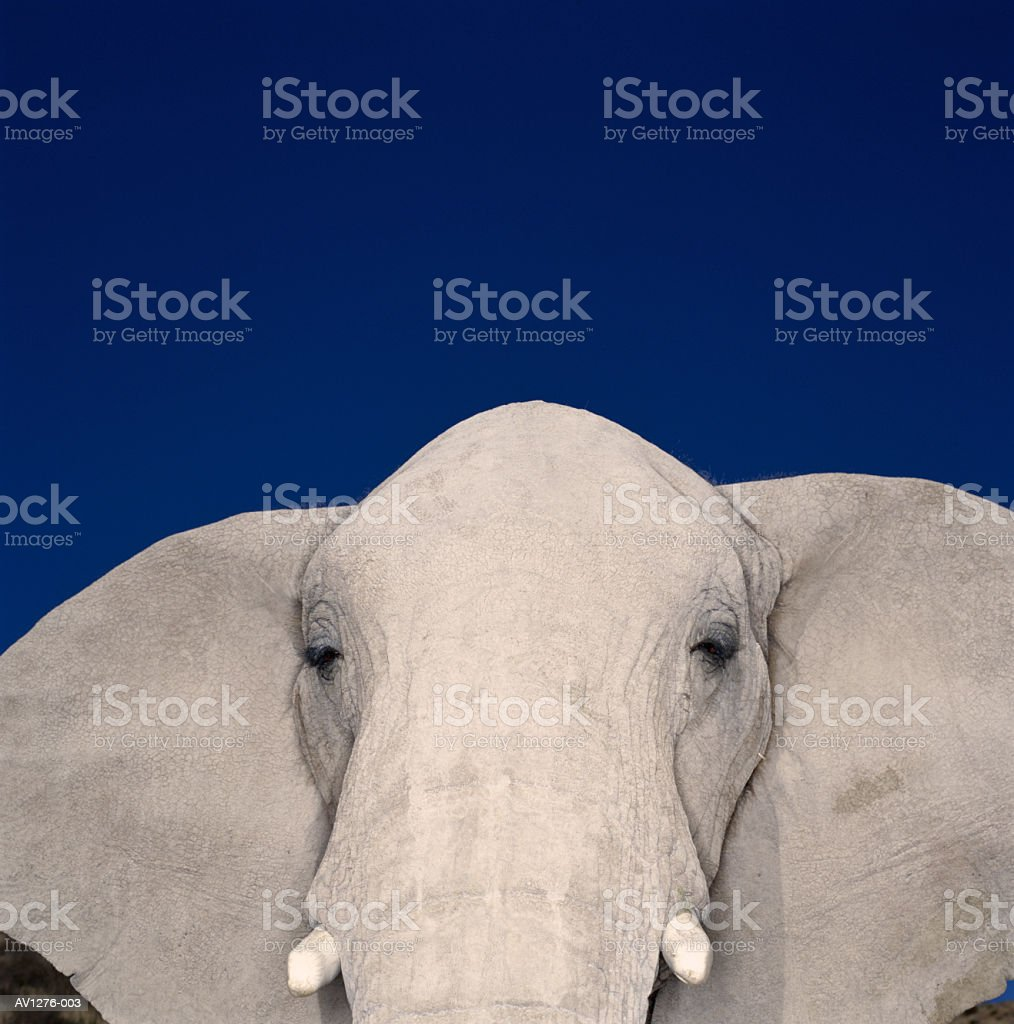 African elephant (Loxodonta africana) close-up (brightly lit) royalty-free stock photo