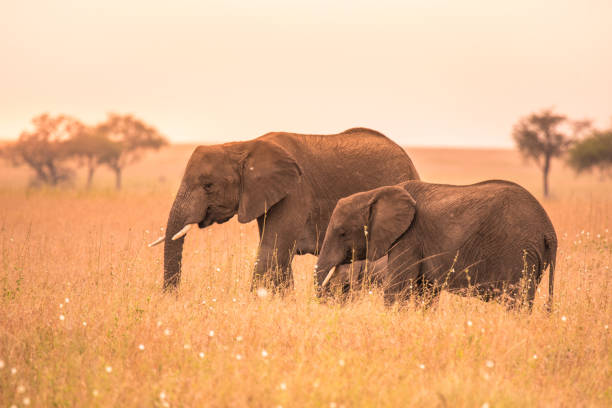 African Elephant Couple in the savannah of Serengeti at sunset. Acacia trees on the plains in Serengeti National Park, Tanzania. Wildlife Safari trip in  Africa. African Elephant Couple in the savannah of Serengeti at sunset. Acacia trees on the plains in Serengeti National Park, Tanzania. Wildlife Safari trip in  Africa. ngorongoro conservation area stock pictures, royalty-free photos & images
