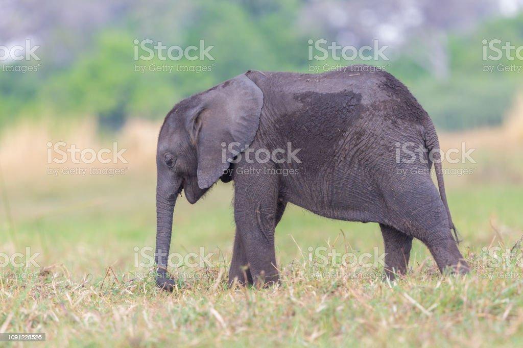 Afrikanischer Elefant Cub (Loxodonta Africana) Browsen im Grünland – Foto