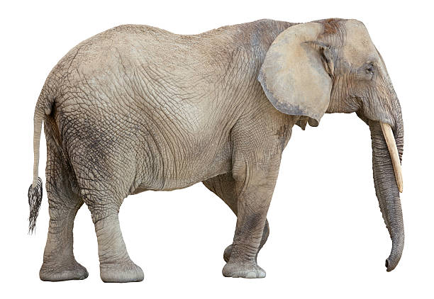 African Elephant cutout African Elephant side view isolated on white background african elephant stock pictures, royalty-free photos & images