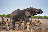 African elephant drinks water at a waterhole in Etosha National Park, Namibia, surrounded by zebras. Etosha is known for its waterholes overfilled with wild animals drinking water.