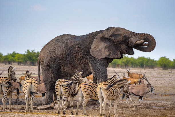 African elephant drinks water in Etosha National Park surrounded by zebras stock photo