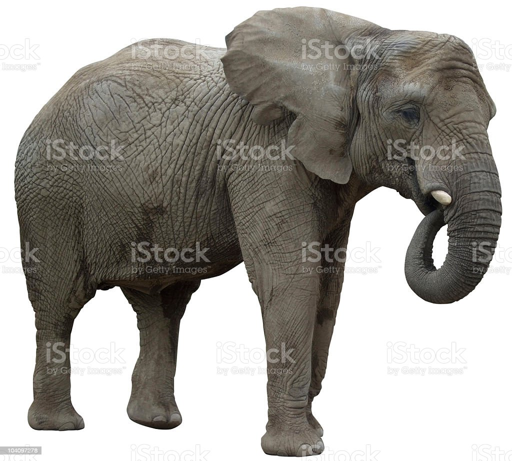 African elephant eating profile view royalty-free stock photo