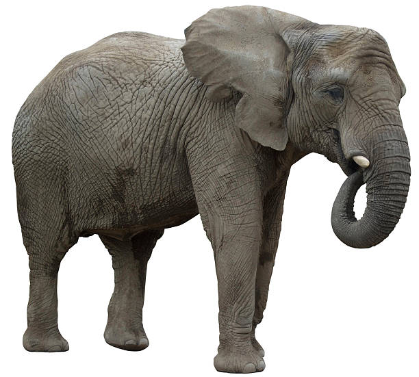 African elephant eating profile view  african elephant stock pictures, royalty-free photos & images