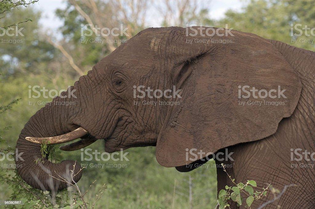 African Elephant Enjoying Lunch royalty-free stock photo