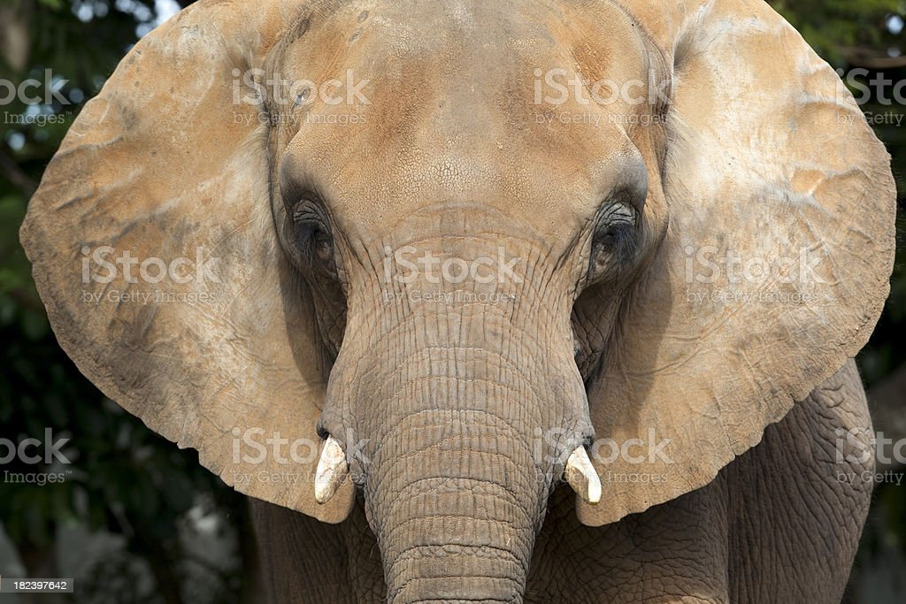 African Elephant Face stock photo