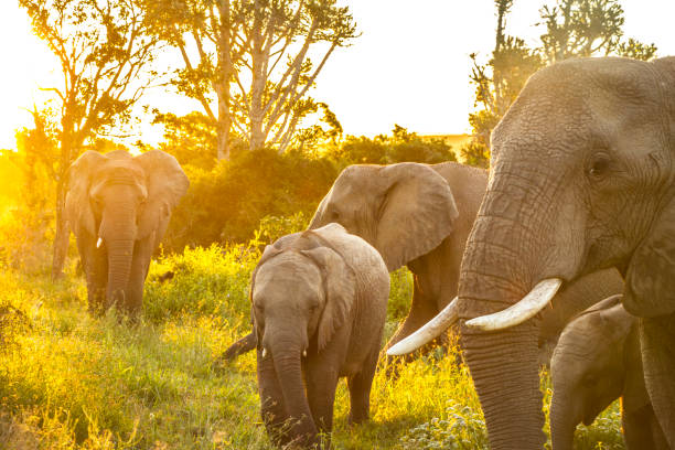 african elephant family at sunset - anthony mcgovern stock photos and pictures