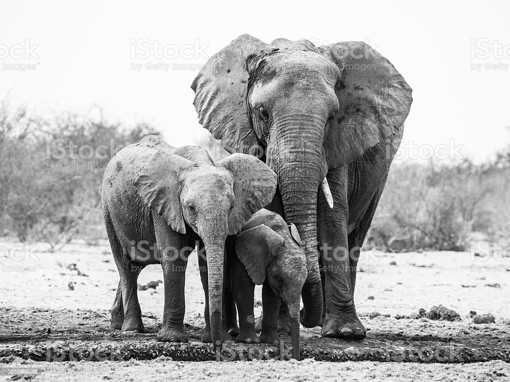 African elephant family stock photo