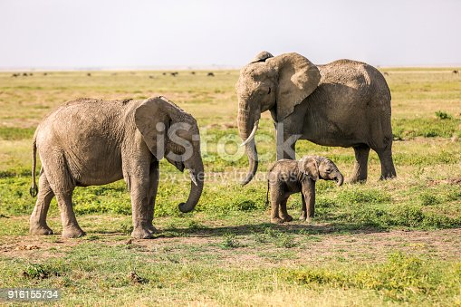 Mother, Father and Calf, African Elephant Family