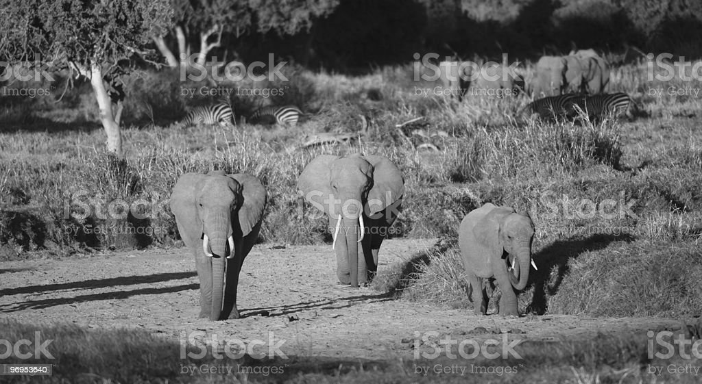 African Elephant (Loxodonta africana) Family Walking Dry River Bed, Kenya royalty-free stock photo