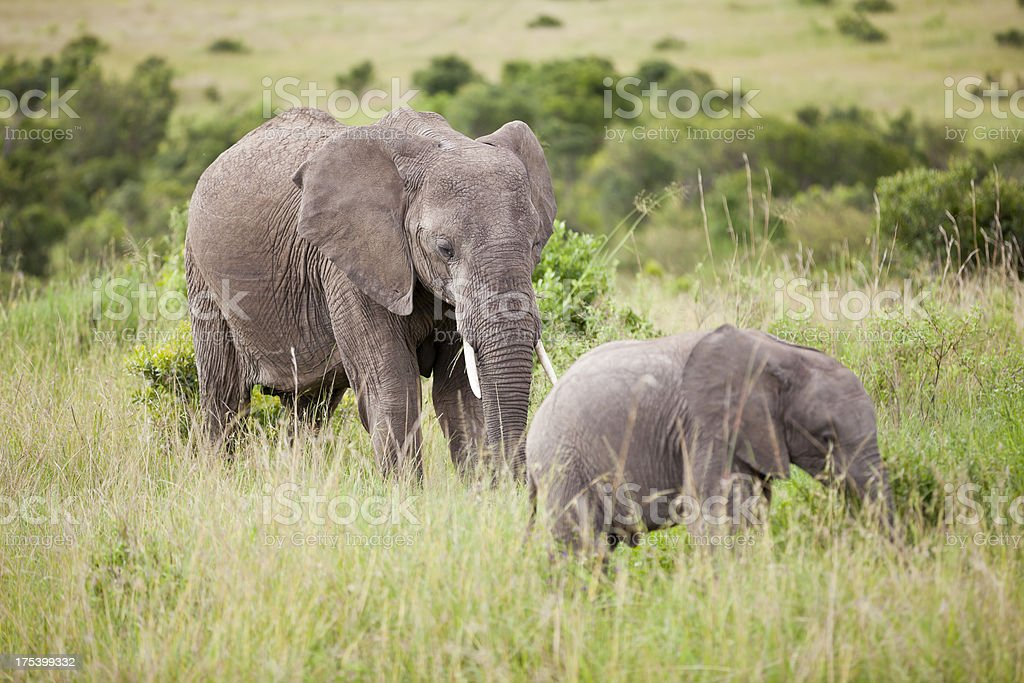 African Elephant Family with baby stock photo