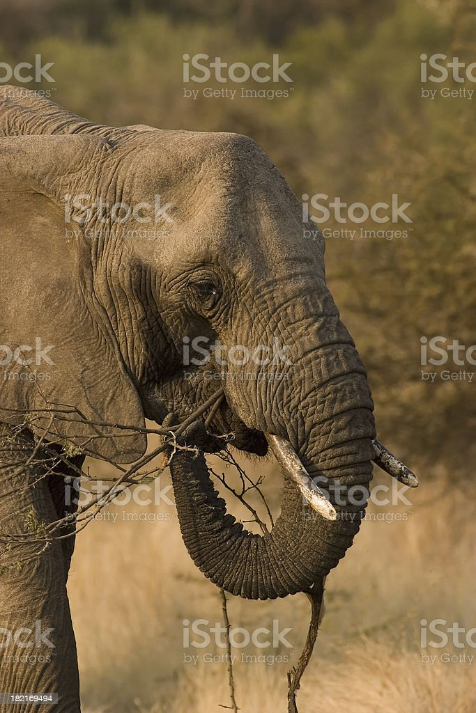 African Elephant Feeding stock photo