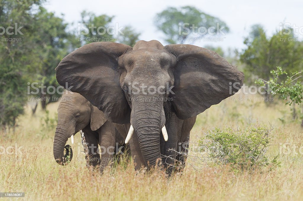 African Elephant (Loxodonta africana) female with young, South A royalty-free stock photo
