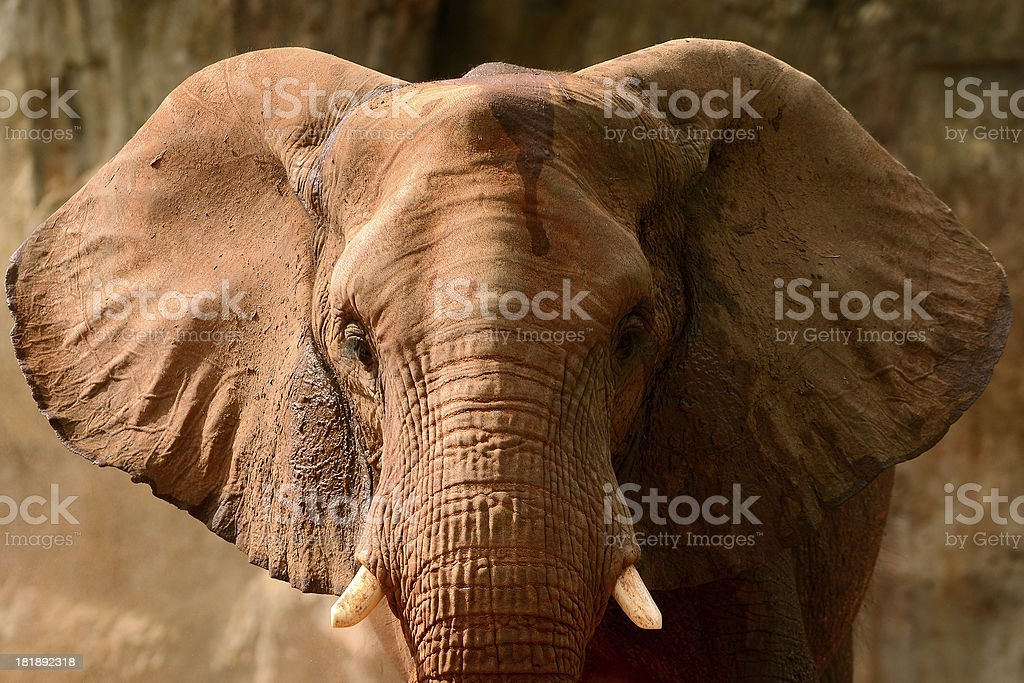 African elephant front view stock photo