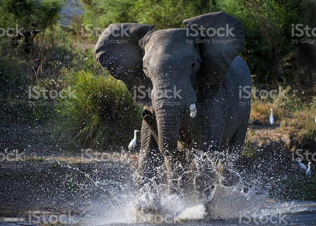 African Elephant Have angered in The river Zambezi. stock photo