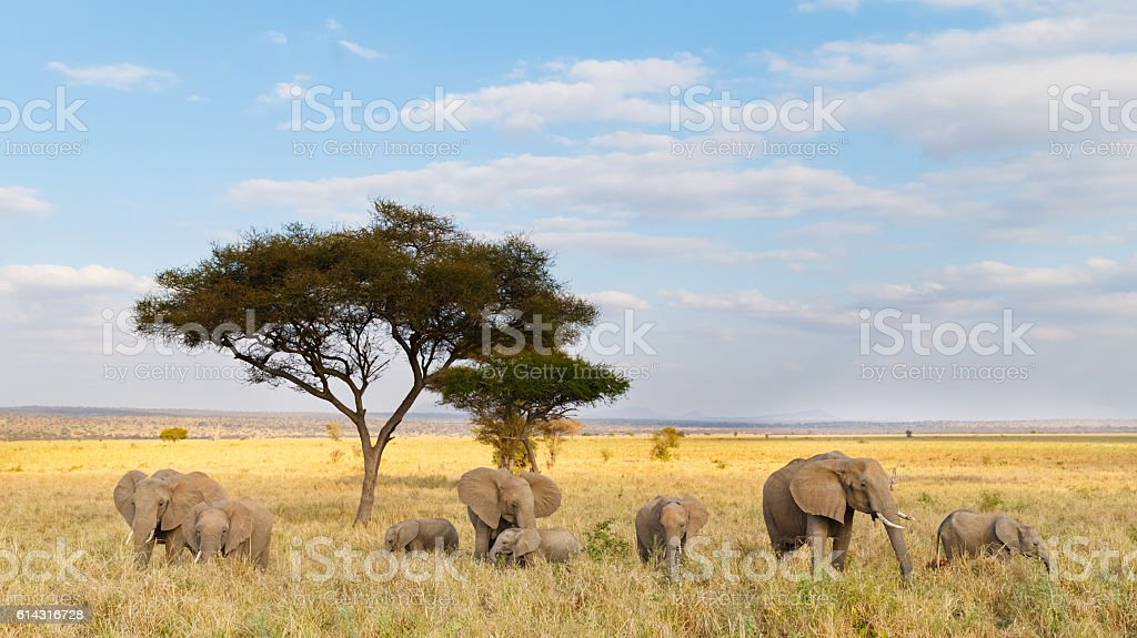 African Elephant Herd and Acacia Tree in Tanzania stock photo