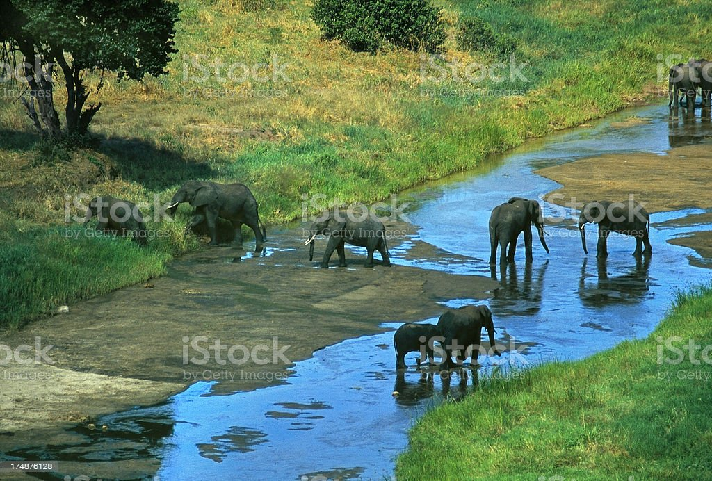 African elephant herd in Tarangire River Tanzania royalty-free stock photo