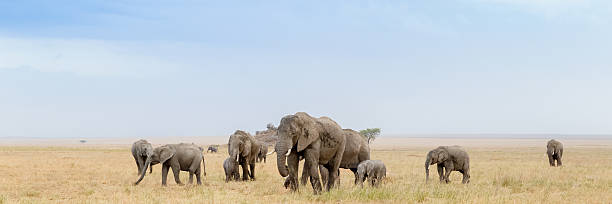 African Elephant Herd in the Serengeti Savanna, Tanzania Africa stock photo