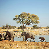 A group of African elephants is arriving at the Okaukuejo waterhole in Etosha National Park in Namibia. The wild elephants are walking in a row, following one another, and one animal is holding the other one's tail with his trunk.