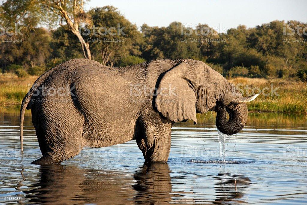 African Elephant (Loxodonta africana) in a waterhole in the Savu stock photo