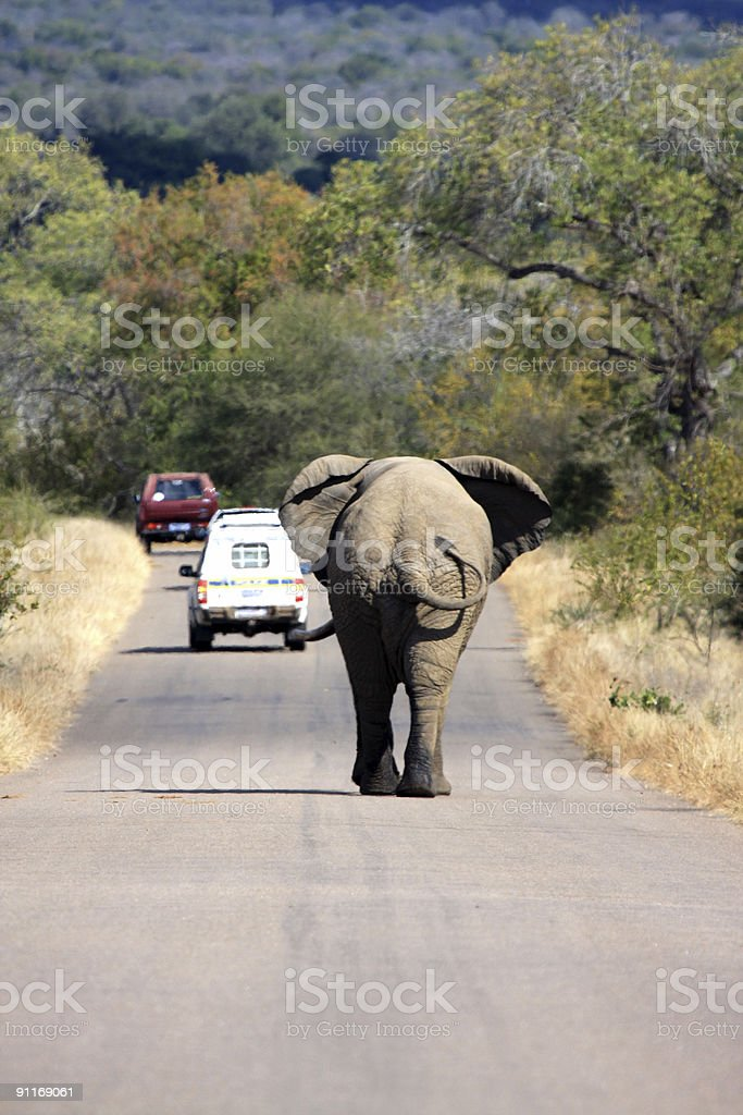 African Elephant in Kruger Park, South Africa royalty-free stock photo