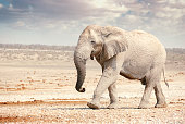 A single African elephant at a watering hole in Etosha National Park in Namibia, Africa