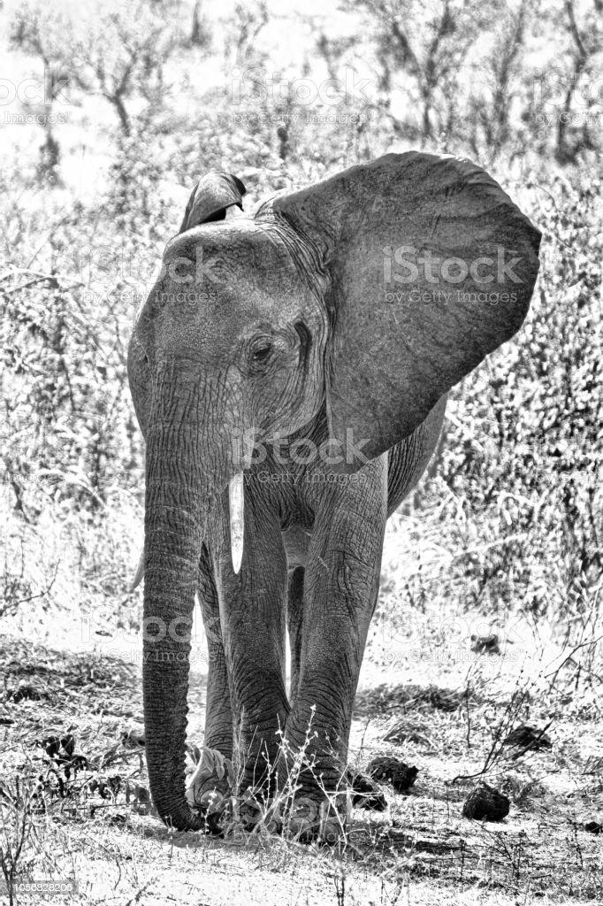 Éléphant d'Afrique à Ruaha National Park, Tanzanie - Photo