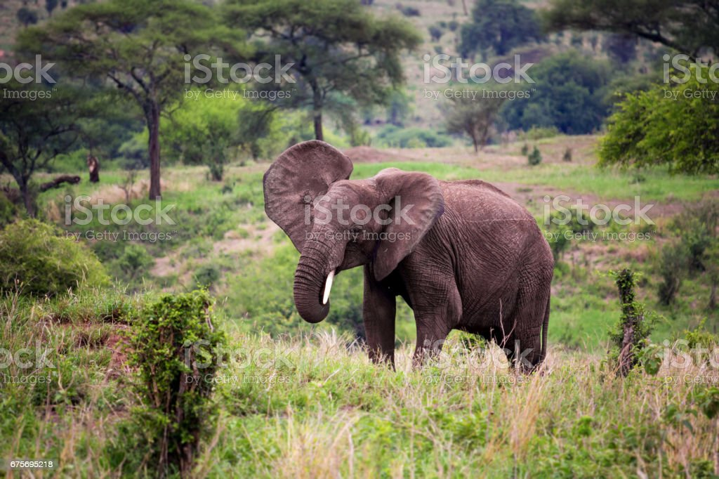 African elephant in Savannah royalty-free stock photo
