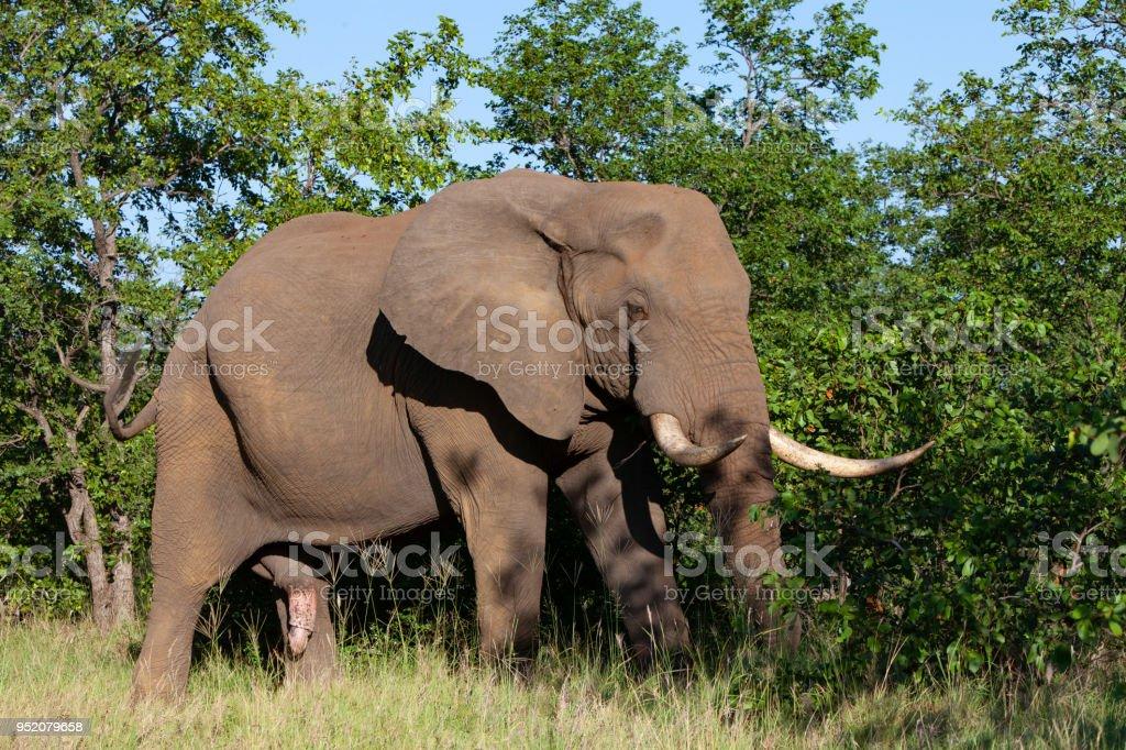 grote penis Afrikaans