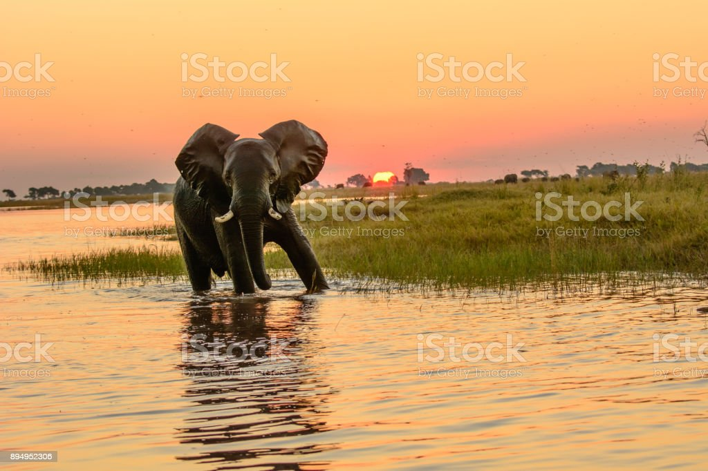 African elephant in the Chobe river at dusk stock photo
