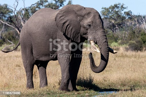 African Elephant (Loxodonta africana)  in the Savuti region of Botswana, Africa.