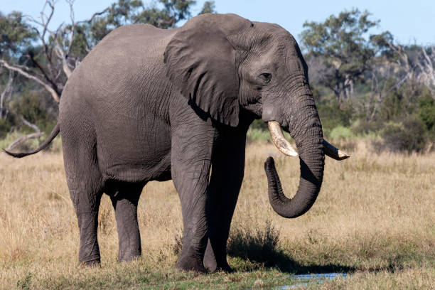 African Elephant in the Savuti region of Botswana stock photo