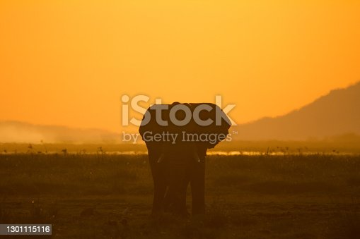 Beautiful photo of an African Elephant enjoying the sunset in Amboseli national park, Kenya. The colors that come from the sunset create a beautiful background, really enhancing the Elephant in the foreground.