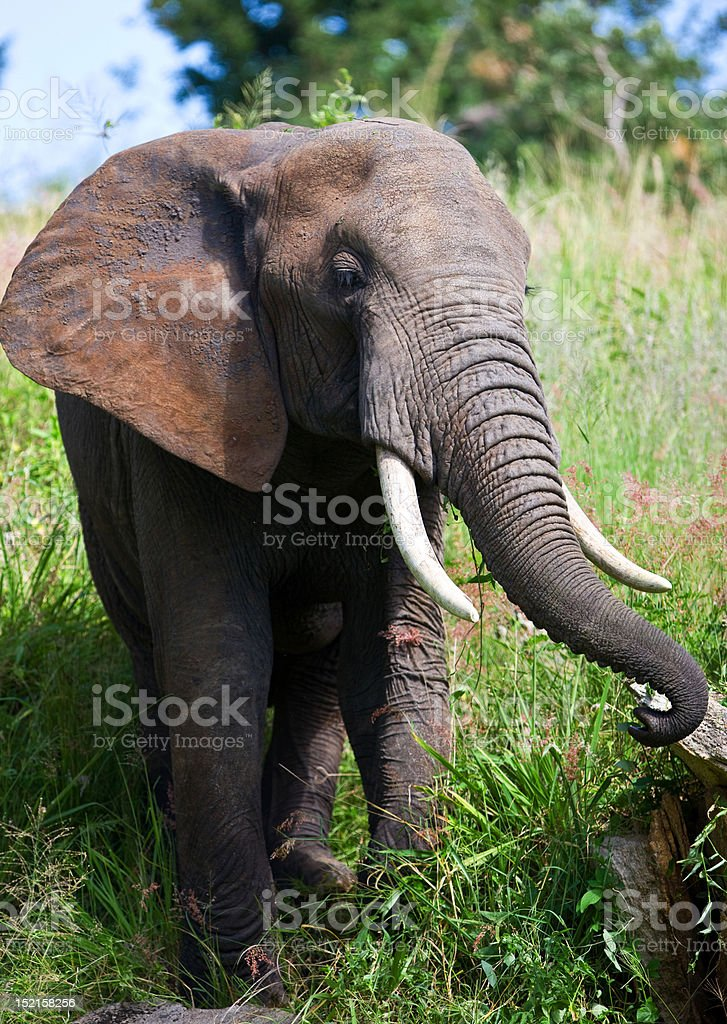 African elephant in the Tarangire National Park royalty-free stock photo