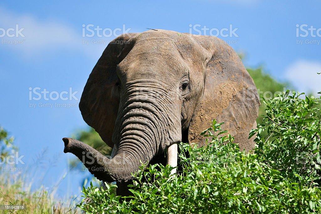 African elephant in the Tarangire National Park, Tanzania royalty-free stock photo