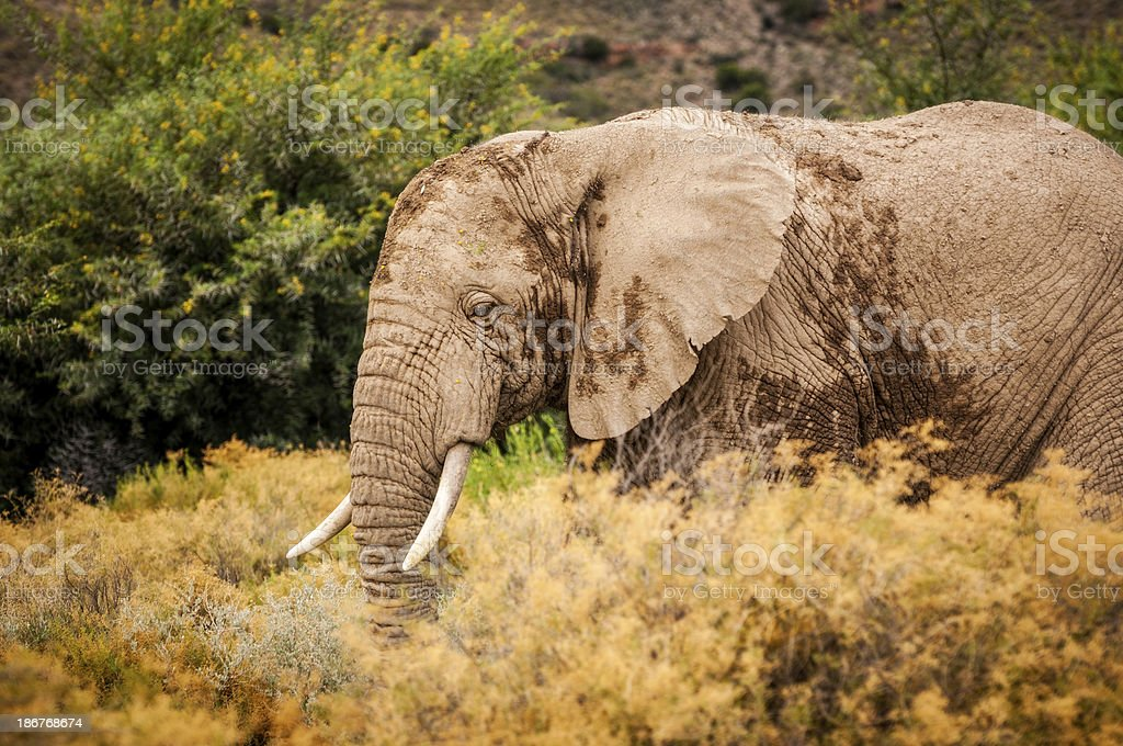 African Elephant in the Wild royalty-free stock photo