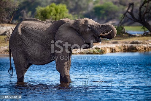 An African elephant (Loxodonta africana) is standing in a shallow river and is drinking. Botswana, Africa.