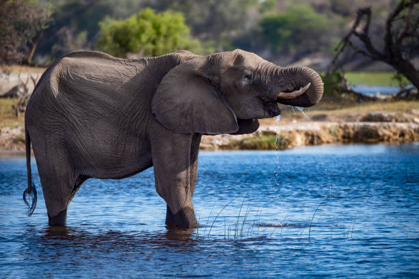 African elephant is drinking water, Okavango Delta, Botswana, stock photo