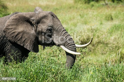 A big African elephant is  grazing in the Serengeti Nationalpark, Tanzania, Wildlife shot.Copy space