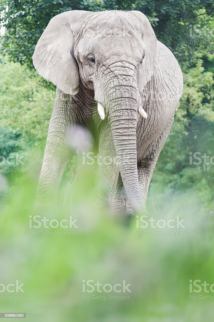 African elephant is resting in relax pose during summertime stock photo
