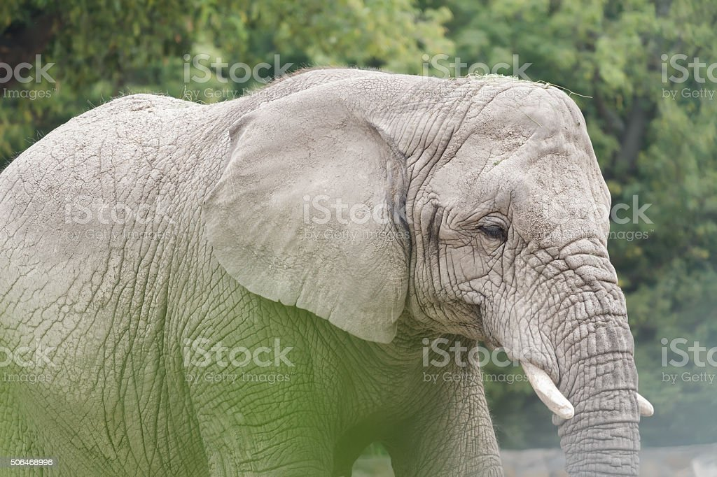 African elephant is the largest land animal in the world stock photo